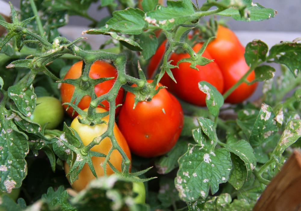 aroma-tomatos