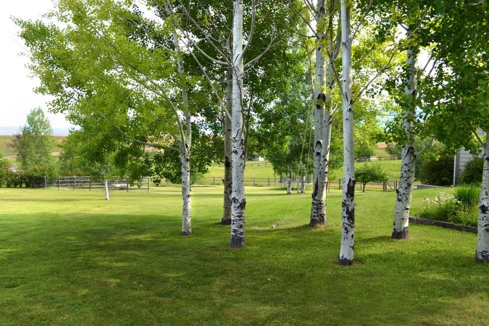 aspen-grove