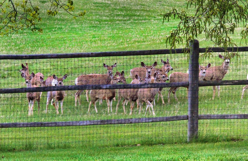 deer-in-the-backyard-2