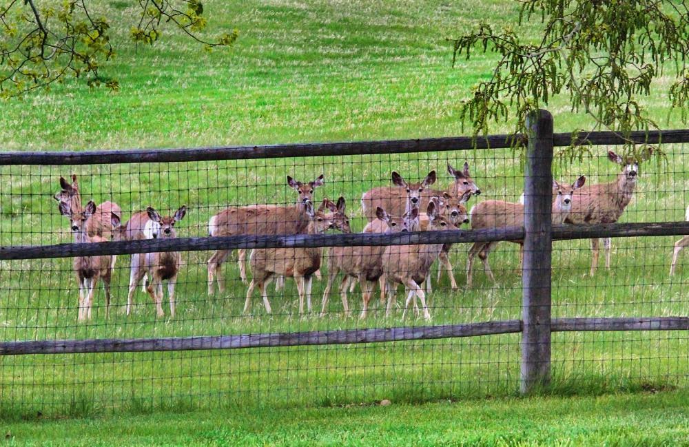 deer-in-the-backyard-2