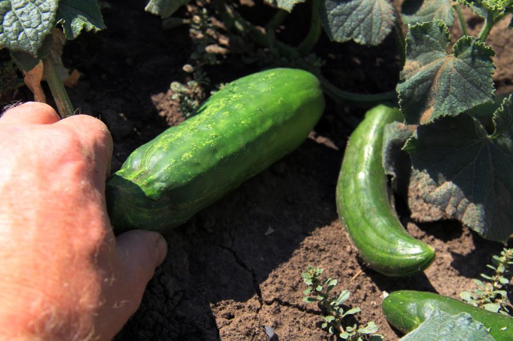 fresh-cucumbers