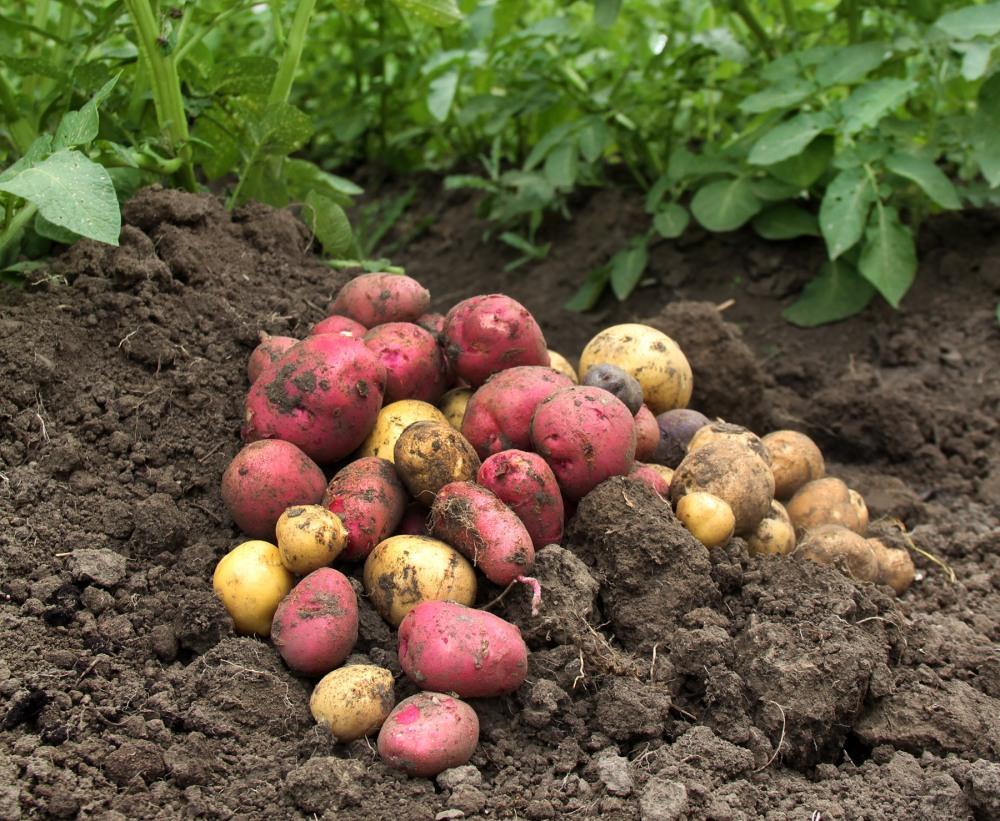 new-potatoes