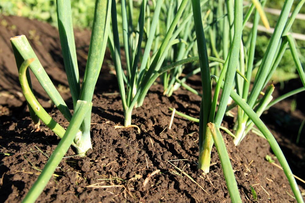 onion-greens