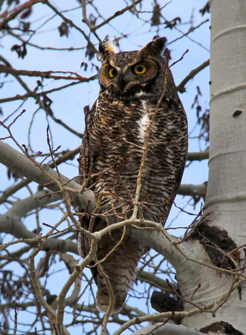 owl-cropped-2