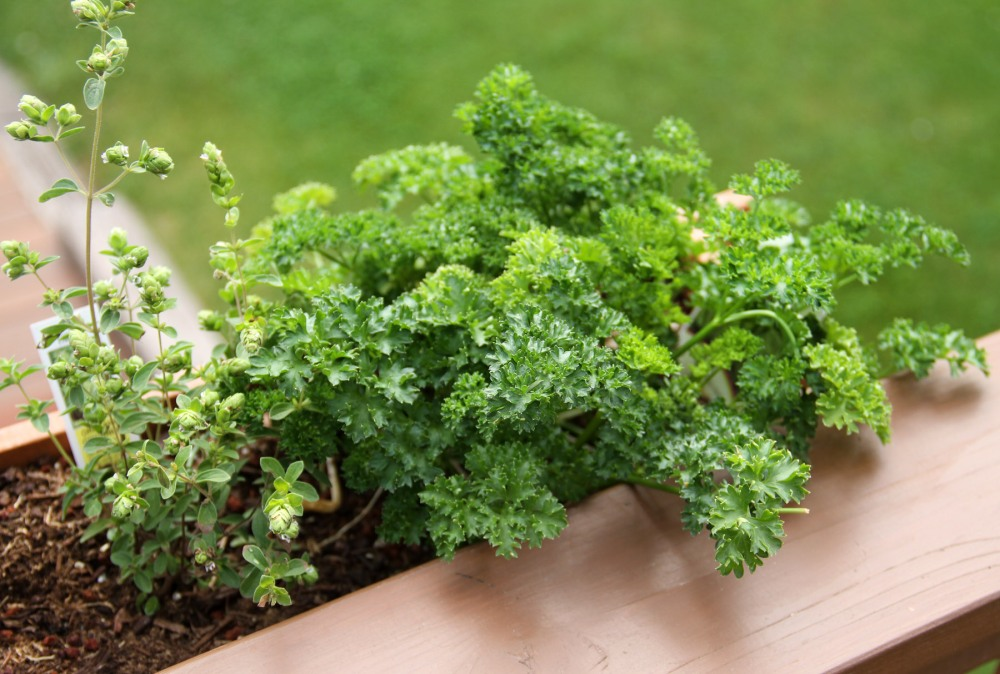 parsley-2