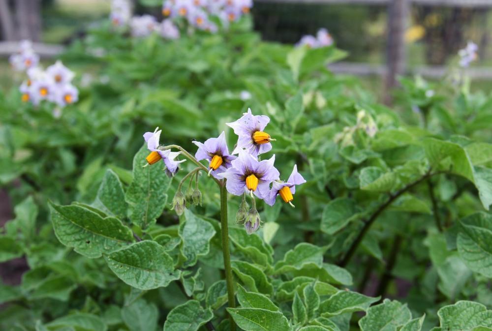 patatoe-flowers
